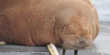 Walrus Freya klimt aan boord van onderzeeër in Waddenzee